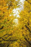神宮外苑いちょう並木の銀杏