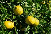 柑橘類フルーツのイメージ