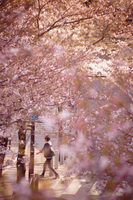 桜の中の横断歩道を歩く男性