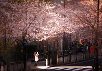 桜を撮影する女性