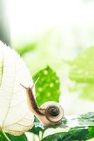 葉を伝うカタツムリ