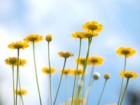 ダイヤーズカモミールの花