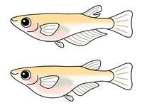 めだかのオスとメス セット medakafish キャラクター イラスト クリップアート