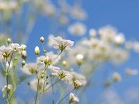 白いカスミソウの花