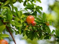 柘榴の幼果