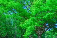 新緑の木立 春の公園
