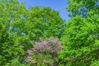 新緑の木立とハナミズキ
