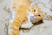 Scottish fold longhair bicolor cat