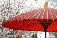 公園の桜と赤い和傘