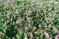 松代城址の土塁に咲くアカツメクサ
