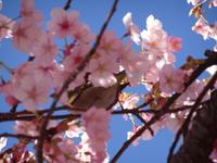 桜の木 うぐいす 写真