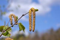 シラカバの雄花