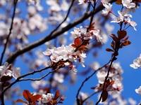 アカバスモモの花