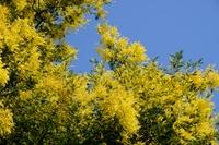 フサアカシアの花