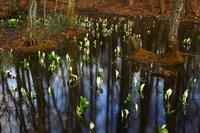 西和賀町 森に咲く水芭蕉