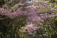 近江神宮の陽光桜