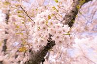 北海道 石狩市戸田記念公園の桜
