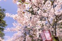 青森県弘前市 弘前公園の桜