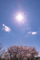 北海道 札幌市郊外の満開の桜