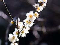 鎌倉の白梅