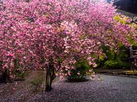 満開の花海棠の木