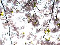 満開の桜の花と枝