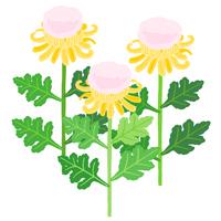 菊の着綿 重陽の節句