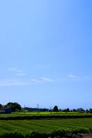 大淵笹場の茶園畑