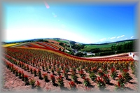 美瑛の絶景四季彩の丘