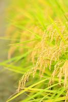 稲穂、豊作、田んぼ、収穫、秋のイメージ