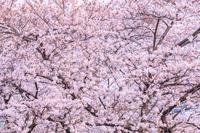 桜 目黒川
