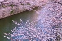 桜咲く目黒川 東京