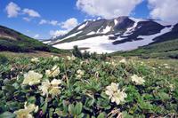キバナシャクナゲの群落(北海道・大雪山)