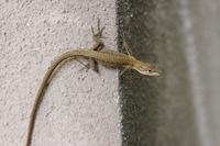 コンクリートの壁の上のカナヘビ