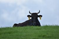 じっとこちらを見つめる黒い牛