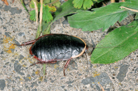 サツマゴキブリ(鹿児島県・出水市)