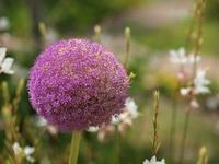 ギガンチウムの花のアップ
