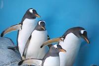 可愛いキングペンギン
