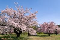 弘前市 弘前公園の満開の桜