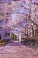 満開の桜(電気通信大学)