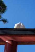 鶴岡八幡宮の白鳩