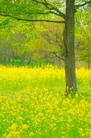 春の菜の花畑のイメージ