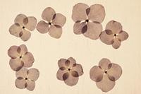 紫陽花の押し花