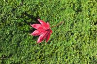 モミジの落ち葉