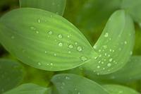 笹の葉と水滴