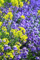 菜の花とムラサキハナナ