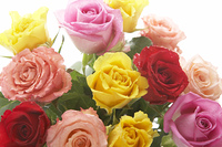 カラフルなバラの花