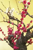 金屏風と紅白の梅