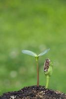 向日葵の発芽