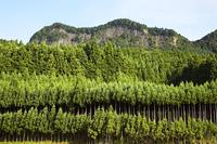 屏風岩と杉林